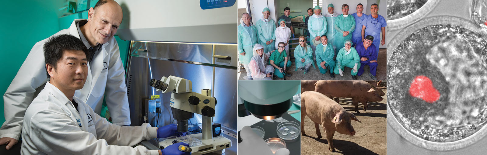 From left: Salk researchers Juan Carlos Izpisua Belmonte and Jun Wu; team of scientists at Agropor field laboratory, Spain; Human stem cells being inserted into a pig blastocyst; pigs at Agropor facility; another angle of stem cell insertion.